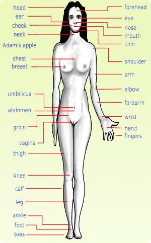Anatomiaxmcpl Układ Trawiennycechy Typy Anatomii Czowieka